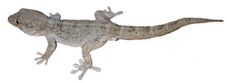 selvagens-gecko