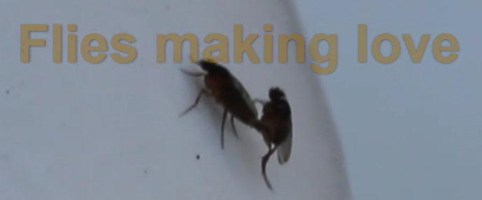 Flies making love